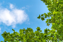 Blue sky with clouds and tree branches Royalty Free Stock Images