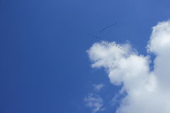 Blue sky, clouds and a wedge of migratory birds Stock Photography