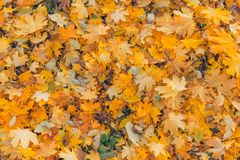 Beautiful autumn closeup landscape with autumn leaves and blurred background. Blue sky and colorful autumn leaves. Autumnal landscape under sunlight Royalty Free Stock Photography