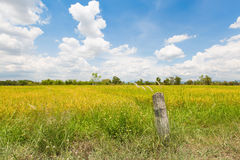 Blue sky and colorful of rice paddy fields in chiangmai, thailand Royalty Free Stock Photo