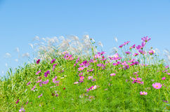 Blue sky and cosmos flowers and silver grass Royalty Free Stock Images