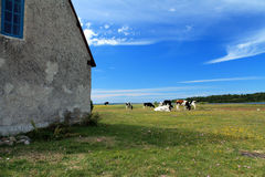 Blue sky and cows Royalty Free Stock Photography
