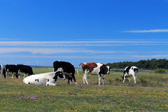 Blue sky and cows Stock Photos