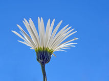 Blue Sky Daisy. A Daisy against the blue sky (with small insect on a petal Royalty Free Stock Images