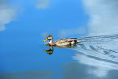 Blue Sky and duck. Yahara River reflects vivid blue skies and white clouds.  A female Mallard duck swims gracefully across image Stock Image