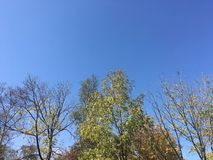 Trees, blue sky. Blue sky, early autumn forest. Up view on trees Stock Photo