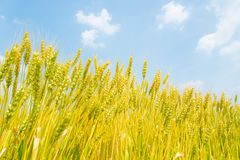 Blue sky and ears of wheat Stock Photos