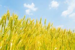 Blue sky and ears of wheat Stock Photos