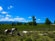 Blue sky. Ethnic livestock: Altaic horse at the green fields Royalty Free Stock Photography