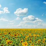 Blue sky and field with sunflowers Royalty Free Stock Images