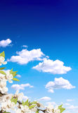 Blue sky and flower of cherry Royalty Free Stock Images