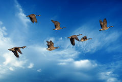 Blue sky with flying birds natural background Stock Photo
