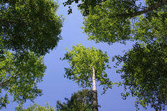 The blue sky through foliage of trees Stock Photos
