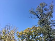Trees, blue sky. Blue sky and forest. Early autumn. Nature, up view on trees Royalty Free Stock Photos