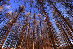 Blue sky and forest Stock Photography