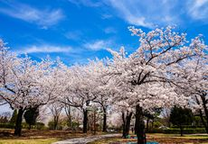 Blue sky full of cherry blossoms stock photo