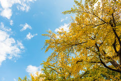 Blue Sky And Ginkgo Stock Image