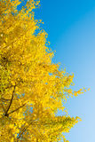 Blue sky and ginkgo yellow leaves Royalty Free Stock Photo