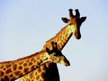 Blue Sky Giraffe. Two Giraffes under a blue sky taking a break from a sparring competition on Amakhala Game Reserve in South Africa Stock Image