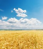 blue sky and golden agriculture field Stock Images