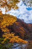 Blue sky in golden fall forest Stock Photos