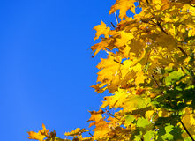Blue sky golden maple leaf Stock Photography