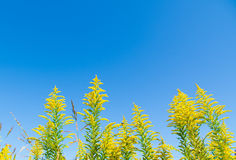 Blue sky and goldenrod Royalty Free Stock Photography