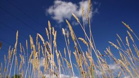 Blue Sky and Grass Field. Gold cones of a summer field grass against the blue sky with cloud stock footage