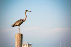 Blue Sky and Great Blue Heron Stock Photography