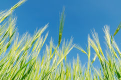 Blue sky and green barley Stock Images
