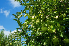 Blue Sky, Green Earth, Ripe Apples Royalty Free Stock Image