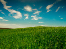 Blue Sky and Green Field. Blue Sky Green Grass on wild field Royalty Free Stock Photos