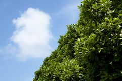 Blue sky and green foliage. Blue sky with white cloud and green foliage stock image