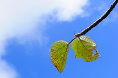 Blue sky and green leaves Royalty Free Stock Photo