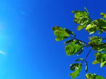 Green leaves with blue sky background. Blue sky with green leaves Royalty Free Stock Photo