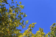 Blue sky with green leaves of sycamore tree background Royalty Free Stock Image