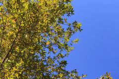 Blue sky with green leaves of sycamore tree background. Royalty Free Stock Photography