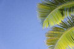 Blue sky green palm leaves background Stock Photos