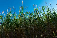 Blue Sky, Green Plants. Green foliage growing upward against a deep blue sky background Royalty Free Stock Photography