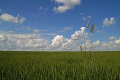Blue sky and green wheat field background stock image