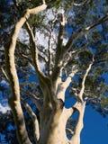 Blue sky gum tree Stock Photo