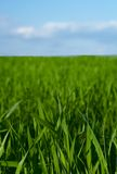 Blue sky horizon and grass. Blue sky hrizon with blade of grenn grass Royalty Free Stock Photography