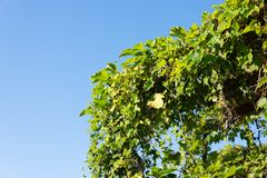 Blue sky and ivy leaves Royalty Free Stock Photos