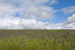 Blue sky lavender field Royalty Free Stock Photos