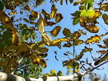 Blue sky and leaf Royalty Free Stock Photography