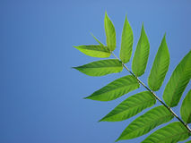 Blue Sky Leaf Frond. A tree limb sticks out in front of a brilliant clear Colorado Sky Stock Images