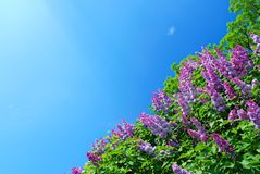 Blue sky and lilac bush Stock Photography