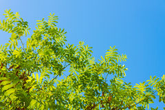 Blue sky and locust tree. This is a photograph of a tree of blue sky and locust tree Royalty Free Stock Images