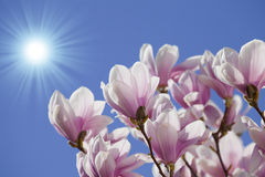 Blue sky with magnolia blossom Stock Photography