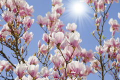 Blue sky with magnolia blossom Stock Images